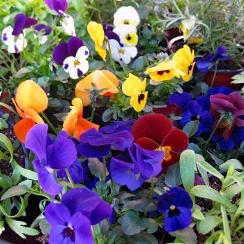 Hornveilchen Mini Stiefmütterchen 5 Pflanzen