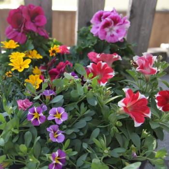 Pflanzen Mix Sommer stehend und hängend