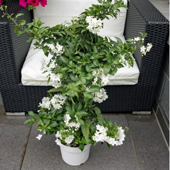 XXL Solanumstamm weiß