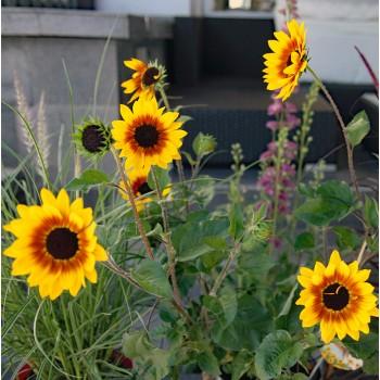 XXL Sonnenblume