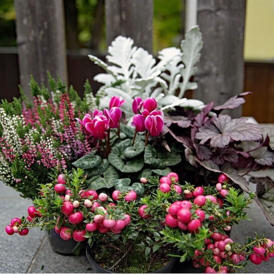 Herbst Pflanzen Mix rose violett