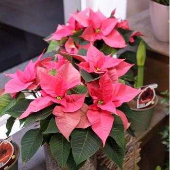 Weihnachtsstern rose pink