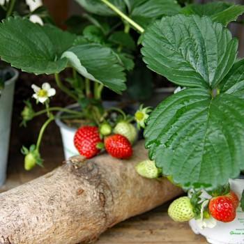 Erdbeere immertragend