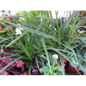 Festuca-Gras gestreift