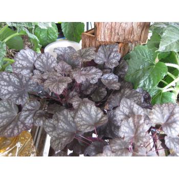 Heuchera Purpurglöckchen violette Blätter