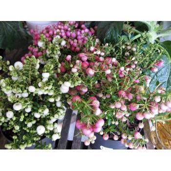 Pernettya rosa Beeren