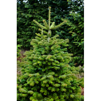 Bayerischer 2,10 - 2,25 Meter Weihnachtsbaum 1A Premium-Qualität