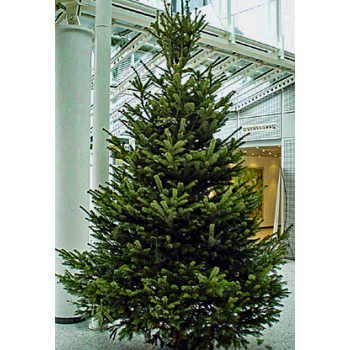 2,70-2,90 Meter Weihnachtsbaum 1A Premium-Qualität