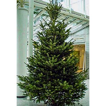 3,5 Meter Weihnachtsbaum 1A Premium-Qualität