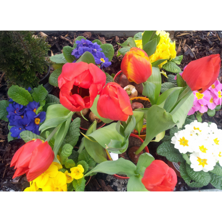 Tulpen