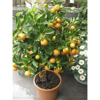 XXL Orangenbaum Calamondin