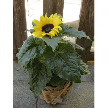 Kleine Aufmerksamkeit mit Sonnenblume