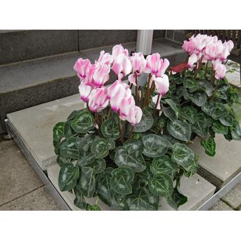 XXL Alpeneilchen rose