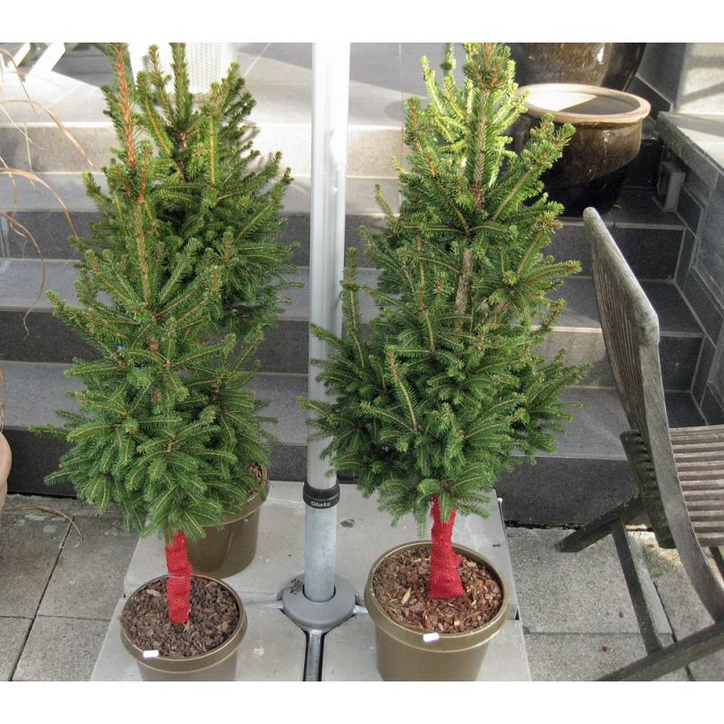 lebender formschnitt weihnachtsbaum im topf ca 100 cm. Black Bedroom Furniture Sets. Home Design Ideas