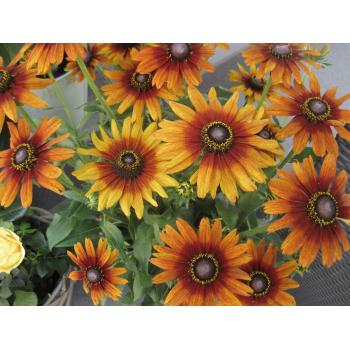 XXL Rudbeckia - Sonnenhut orange