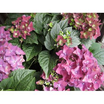 XXL Hortensie purple