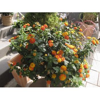 XXL Wandelröschen Hochstamm gelb orange