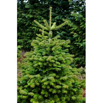 Bio Weihnachtsbaum ca. 1,65-1,75 Meter aus Bayern