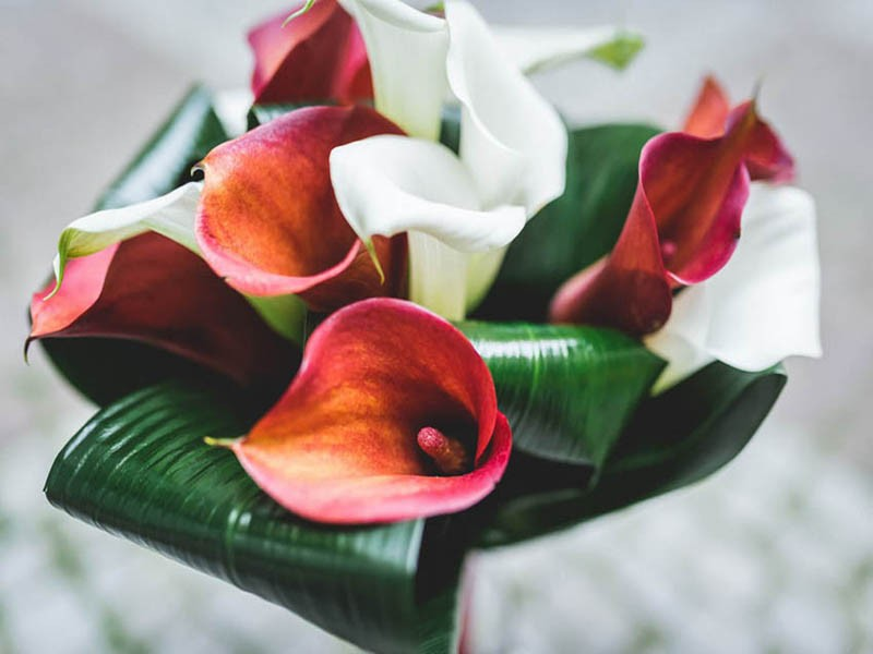 Red & White Calla